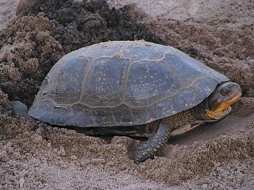Egg-laying turtle closeup