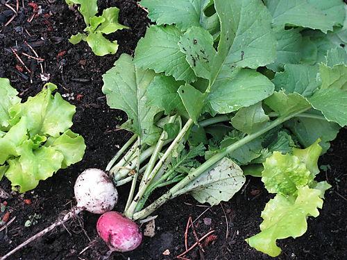 First radish crop