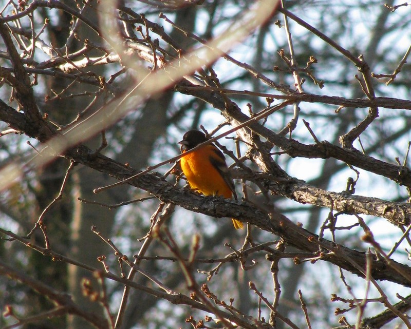 Oriole_cropped